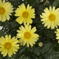 argyranthemum-butterfly