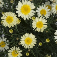 argyranthemum-solo-mio