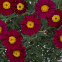 argyranthemum-starlight-red