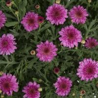 argyranthemum-summersong-rose