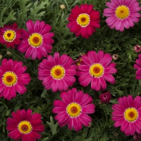 argyranthemum_bright-carmine