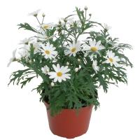 argyranthemum_dana