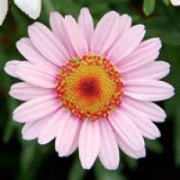 dollies-blushmore