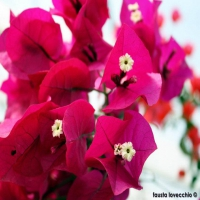Bougainvillea-Rosso-Scuro