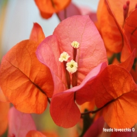 Bougainvillea-arancio-rifiorente