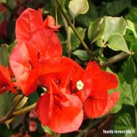 Bougainvillea-arancio