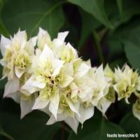 Bougainvillea-cherry-blossom-bianca