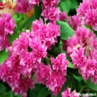 Bougainvillea-cherry-blossom-fucsia