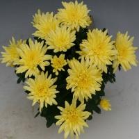 Smola_Yellow