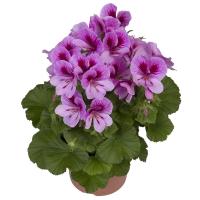 regalia-lavendel