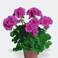 pac_Flower_Fairy_Violet