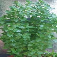 Ocimum_basilicum(Agioreitikos)