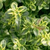 Thymus_citriodorus