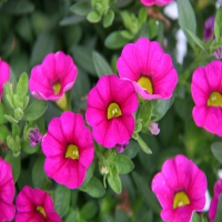 Calimero_Compact_Pink