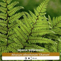 Japanse_Wijfjesvaren