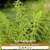 Victoria_Wijfjesvaren