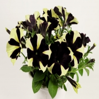 Chameletunia_Black_Yellow_Striped
