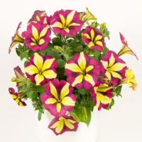 Chameletunia_Burgundy_Yellow_Striped