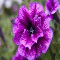 Marisco_Bally_Violet