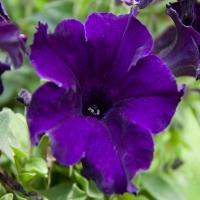 Marsico_Deep_Violet