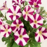 Chameletunia_Burgundy_White_Striped
