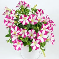 Chameletunia_Pink_White_Striped