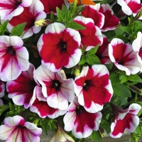 Chameletunia_Red_White