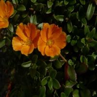 Portulaca_Orange